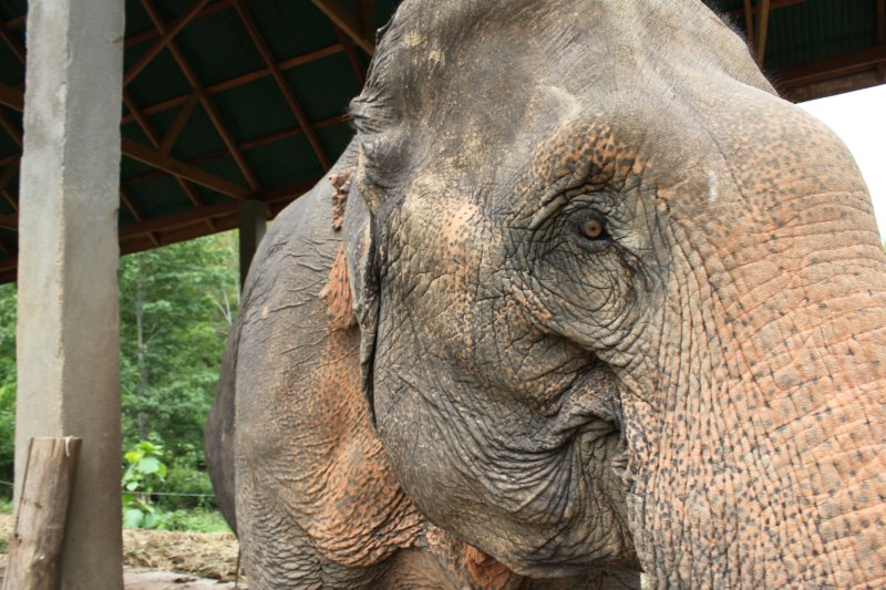 large_elephant_eye.jpg