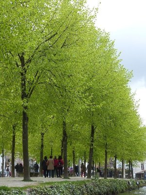 Tree lined canal Bruges