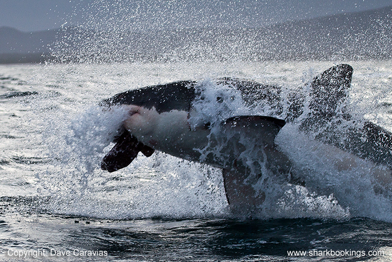 Great White Shark Breaching, hunting and cage diving trips now in Gansbaai