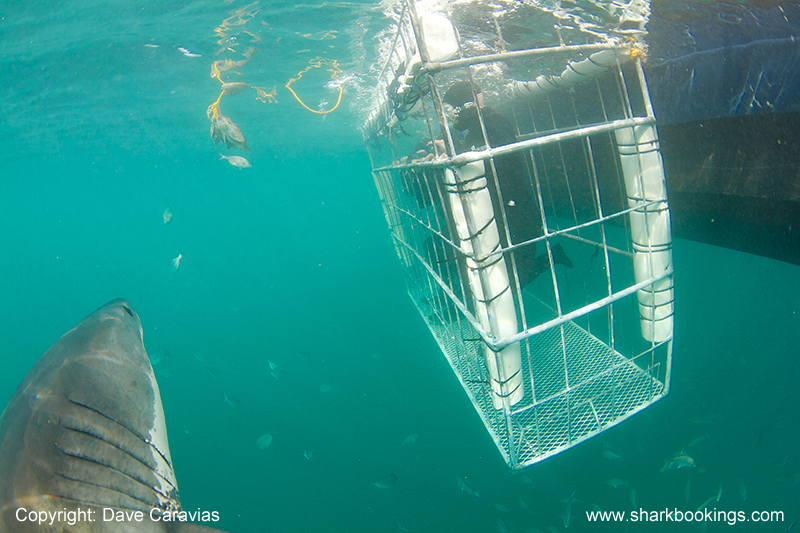 Shark approaching divers
