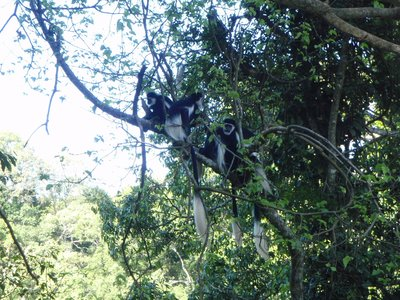 Monkeys in the trees around Lake Nkuruba