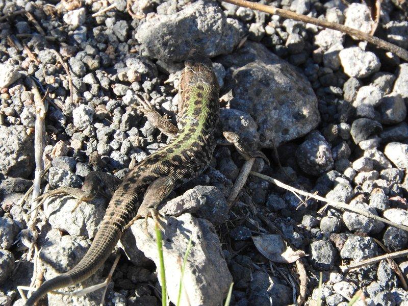 Little lizard on Vesuvius