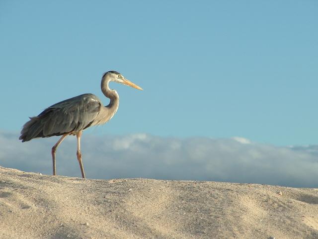 Great Blue Heron, Galapagos Islands