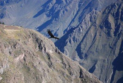 Colca Canyon - Condor (4)