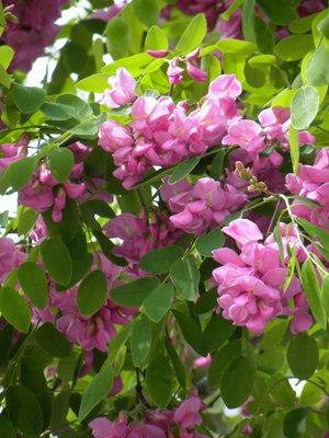 Acai tree blooms