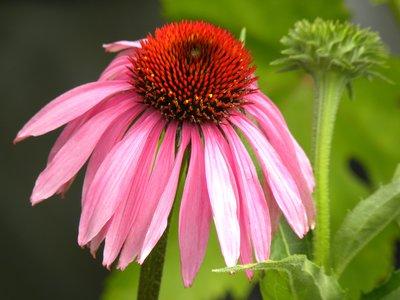 Springtime Echinacea
