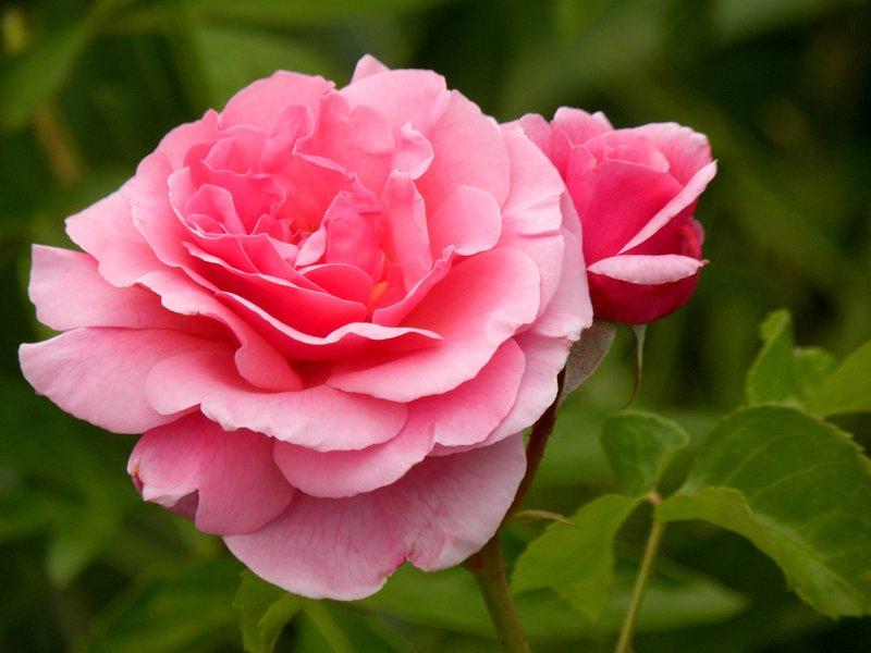 Aloha Rose