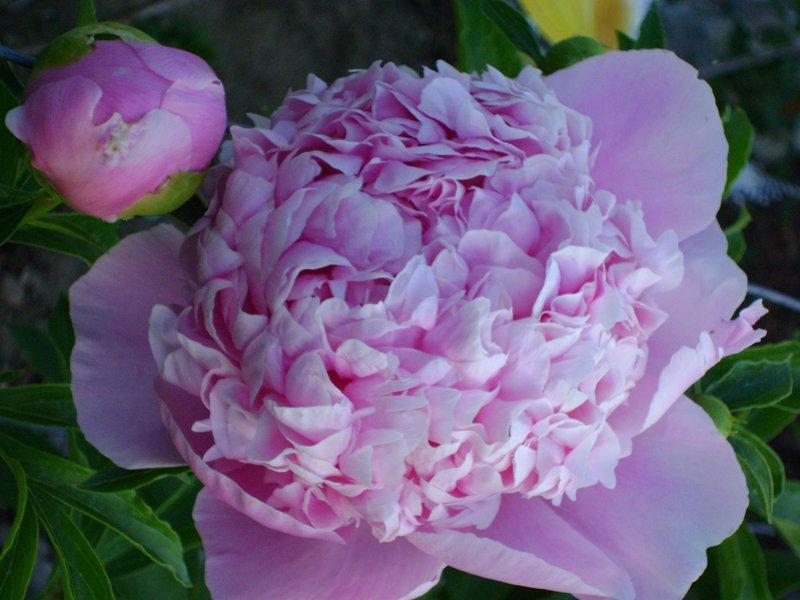 Sarah Bernhardt peony