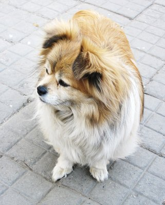 One of those cute fat poms roaming around Hutong Town