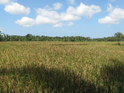 Les rizieres : c'est le temps de la recolte