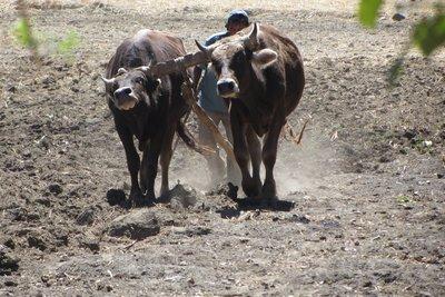 Lokale boeren