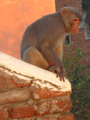 Monkeys like sunrise on the Taj too.