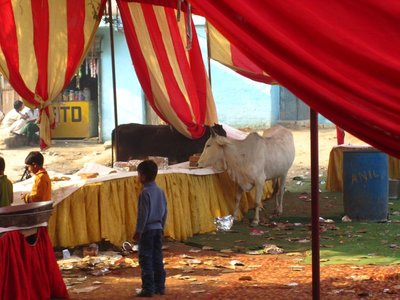 Cows eating the leftovers from a wedding the night before, in front of the school.