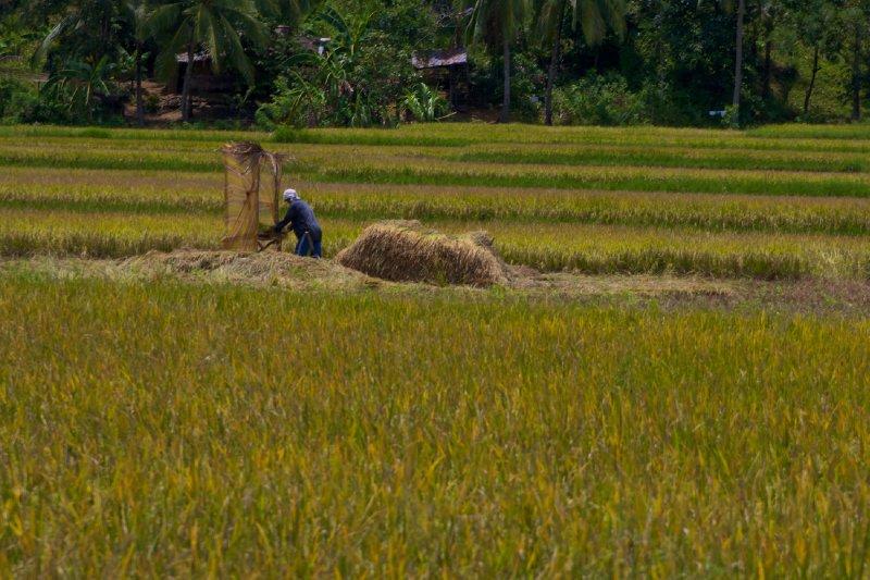 Leyte Rice Harvester