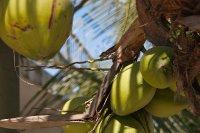Coconut tree in our hotel in Boquilla