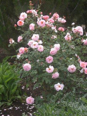 Little roses - Red Butte's Garden