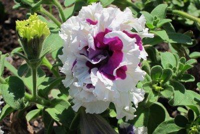 Thanksgiving Point Gaden flower 07