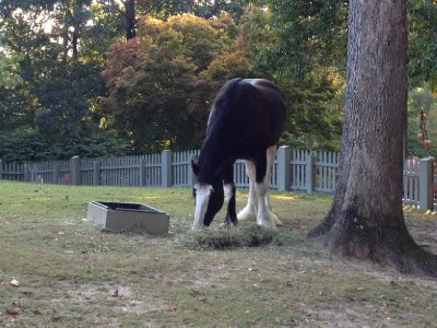 Clydesdale in Williamsburg