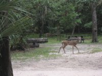 Deer from our camper