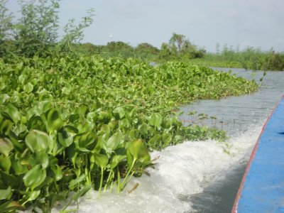 Cutting through the water hyacinths