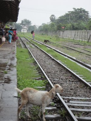 Goats happily wonder through the station