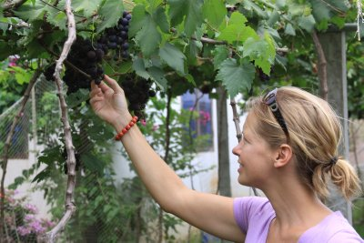 Picking the grapes