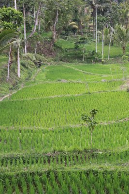 Terraced rice fields of Tetabatu