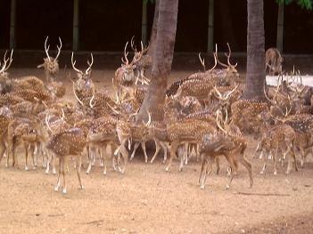 Deer at Mysore Zoo