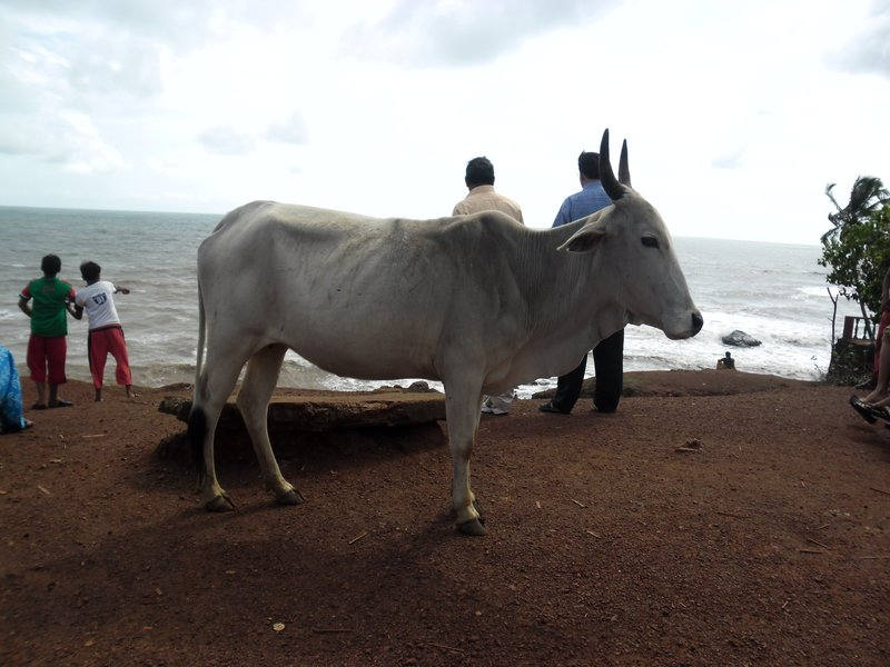 A Cow in the way