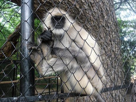 Monkey at Mysore Zoo