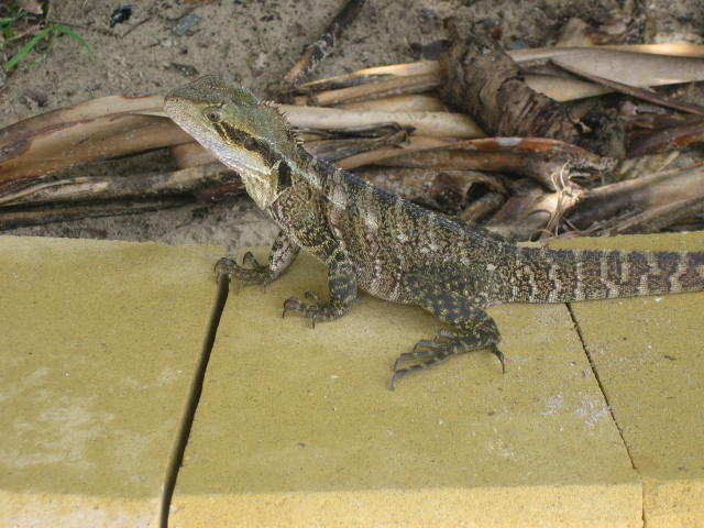 Lizard in Coolangatta