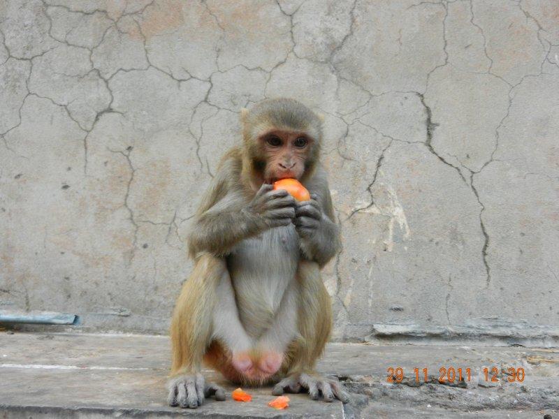 cheeky monkey eating fruit