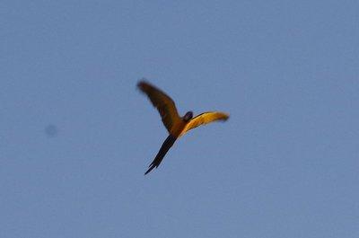 macaw shot 1.