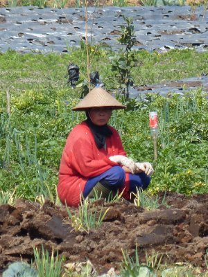 Lady farming near the Dieng Complex