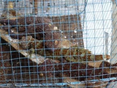 Large geckos at the Bird Market