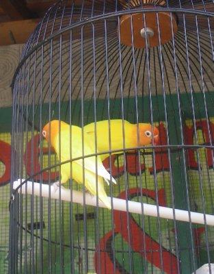 Yellow birds at the bird market