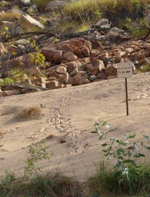 Croc trails along Katherine Gorge