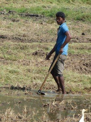 Farming the Rice Fields - Anuradhapura