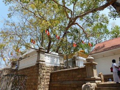 Sri Maha Bodhi - Anuradhapura