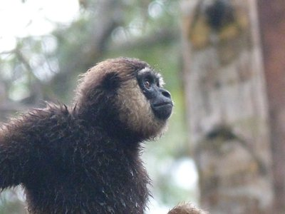 Gibbon Profile