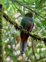 Female Quetzal with food