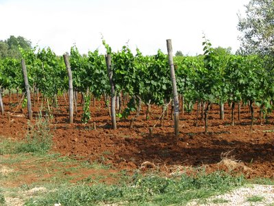 Grape vineyard with red soil