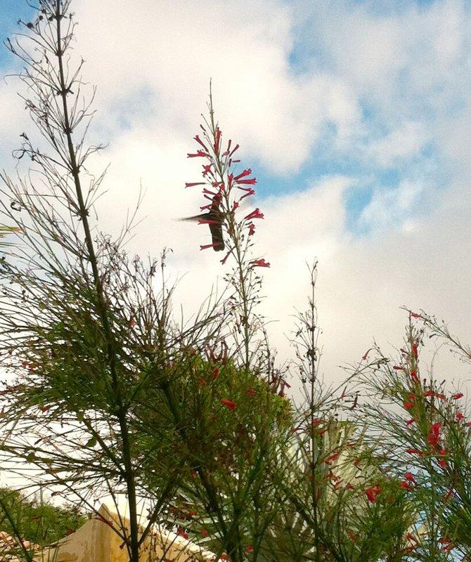 large_hummingbird.jpg