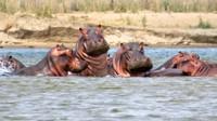 Posing hippos