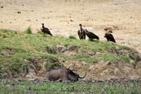 Stuck Buffalo, Waiting Vultures