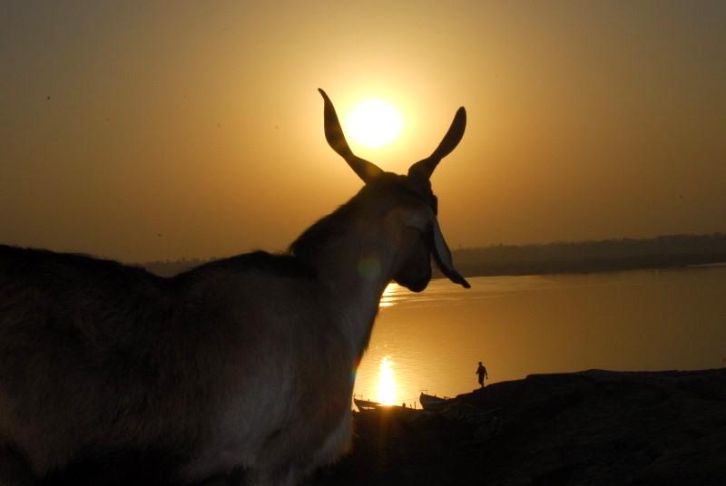 Man and beast welcomes Sunrise, Varanasi, India