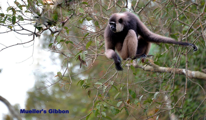 large_Gibbon_on_tree_ps_psd.jpg