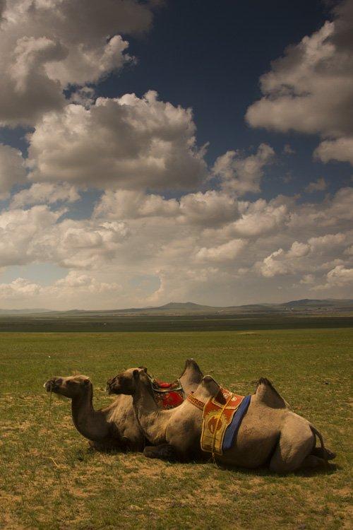Camels, Mongolia