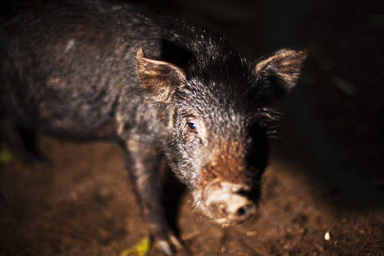 Pig, Tanna Island