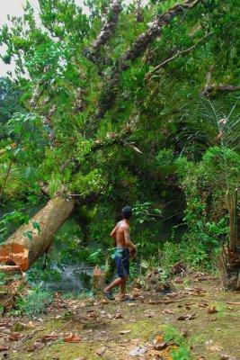 sarawak_tree.jpg